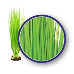 Weco Plant Asian Hairgrass 9""