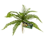 Zoomed Naturalistic Flora Sword Fern